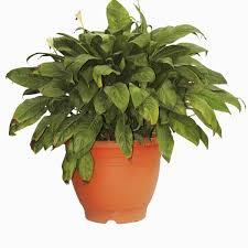 peace plant of peace plant spatiphylun clivelandi pottedpalmslagos