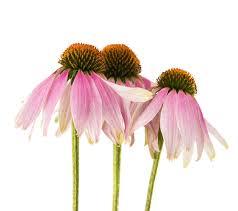 echinacea flower echinacea flower stock photo image 35196590