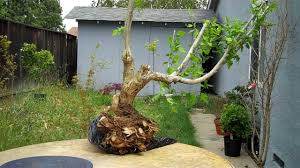 Braided Hibiscus Tree Pictures by Rose Of Sharon Hibiscus Syriacus Bonsai U0026 Care Guide Youtube
