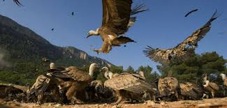 Seeking Vulture A History Of Vultures Foreign Policy