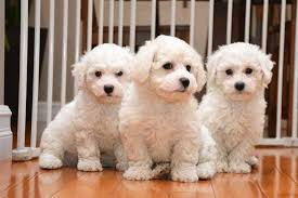 bichon frise dog breeders bichon frise information and bichon frise puppies and dogs for sale