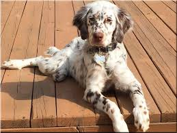 types of setter dog breeds hickory hollow llewellin setters about llewellin setters