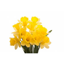yellow daffodils daffodils types of flowers flower muse