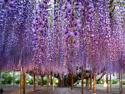 wisteria i don u0027t know where this is but i u0027d like to walk through