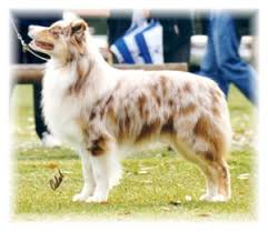australian shepherd club qld breed history aussies
