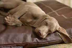 Which State Has The Most Dog Owners Per Capita According To 2016 Stats Sleeping Dogs Think Lovingly About Their Owners U0027 Faces Or Smells