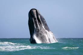 Whale Luxury Whale Watching Holiday Close To Hermanus Grootbos