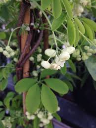 Wildfire Pottery Yarrow Bc by White Flowered Chocolate Vine Akebia Quinata Shirobana Smells