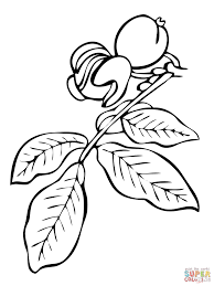 walnut tree coloring pages free coloring pages