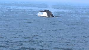 Whale Watches Cape Cod - cape cod provincetown whale watching part 11 youtube
