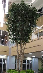 replica custom 20 ft ficus tree preserved interiors