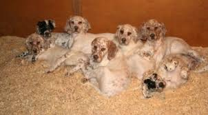 new litter at october setters
