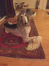8 month old afghan hound adoptable dogs afghan hound rescue