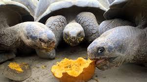giant tortoises devour pumpkins for halloween youtube