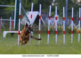 belgian sheepdog agility agility dog stock images royalty free images u0026 vectors shutterstock
