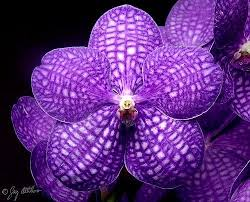 vanda orchids 28 best vanda blue orchid images on vanda orchids