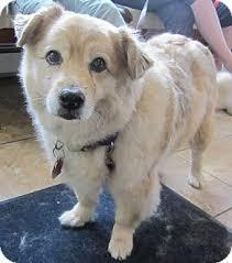 american eskimo dog new mexico dahlia adopted dog oak ridge nj golden retriever american