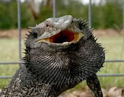 treknature bearded dragon photo