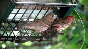 male house finch feeding hungry juvenile house finch at 1 20 youtube