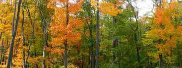 mlewallpapers com fall maple trees