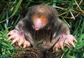 mole control effective wildlife solutions
