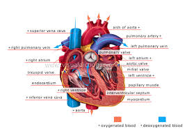 Pictures Of The Anatomy Of The Human Body Human Being Anatomy Blood Circulation Heart Image