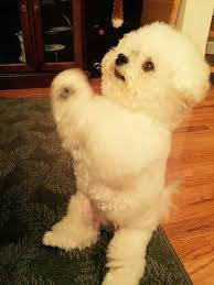 bichon frise names male 42 best images about bichon frise on pinterest poodles puppys