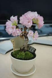era nurseries buy trees online wholesale australian native 635 best bonsaï images on pinterest bonsai trees plants and