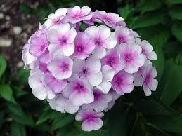 phlox flower how to grow phlox flowers plant
