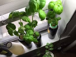 kit for growing herbs indoors that you only water once
