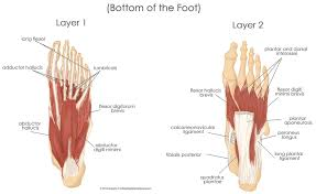 Anatomy Of A Foot Military Disability Ratings For Conditions Of The Feet U0026 Legs
