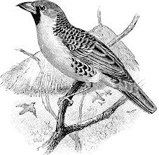 weaver bird clipart etc