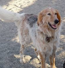 shaving a australian shepherd 218 best horses tack and all things country images on pinterest