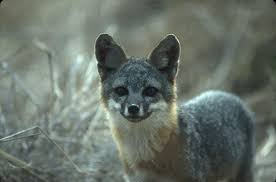 foxes may be u0027least variable u0027 of all wild animals