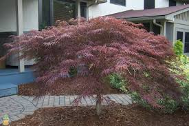 inaba shidare lace leaf japanese maple for sale the planting tree