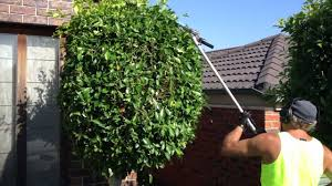 What Is A Topiary Tree Hedge Trimming Making Them Round Balls Gardening Hedge Master Is