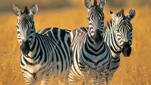 Clothes To Wear On A Safari Tanzania Safari U2013 See Serengeti Wildlife Travel With Rei