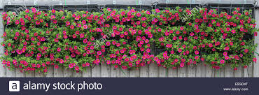 Hanging Wall Planters Petunia Crazytunia Flowers In Hanging Wall Planters On A Fence