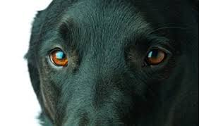 Temporary Blindness In Dogs Dog Eye Problems