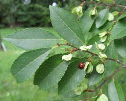 drake elm tree information u2013 learn how to grow a drake elm tree