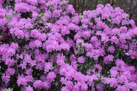Flowering Shrubs New England - rhododendron u0027purple gem u0027 rhododendron from new england nurseries