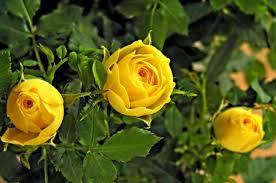 yellow flowers flower gardening top 10 classic yellow flowers