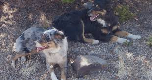 hart 2 australian shepherds horned locust goatscaping bucky and guppy puppies are here
