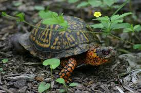 controlled burn but first turtles gettysburg daily
