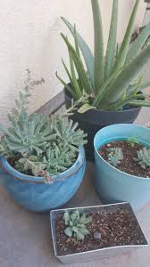step by step how i saved my dying succulent plant with pictures