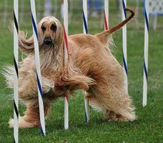 afghan hound agility afghan hound race wild wild afghan hounds pinterest search