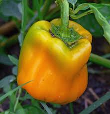 garden tips for june harvest to table