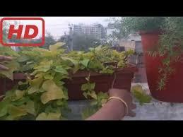 care of ornamental sweet potato vine ipomea