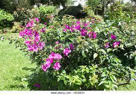 Flower San Jose - san jose flower stock photos u0026 san jose flower stock images alamy