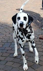 beautiful dalmatian awesome dogs dalmatian dog
